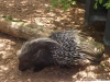African Crested Porcupine by Holly