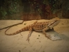 Bearded Dragon by Holly