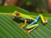 Red_eyed_tree_frog