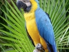 blue-yellow-macow
